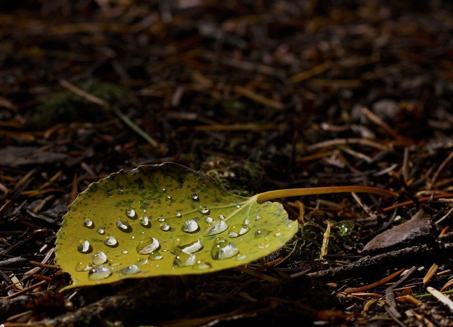 John Fowler - Dew on Aspen Leaf