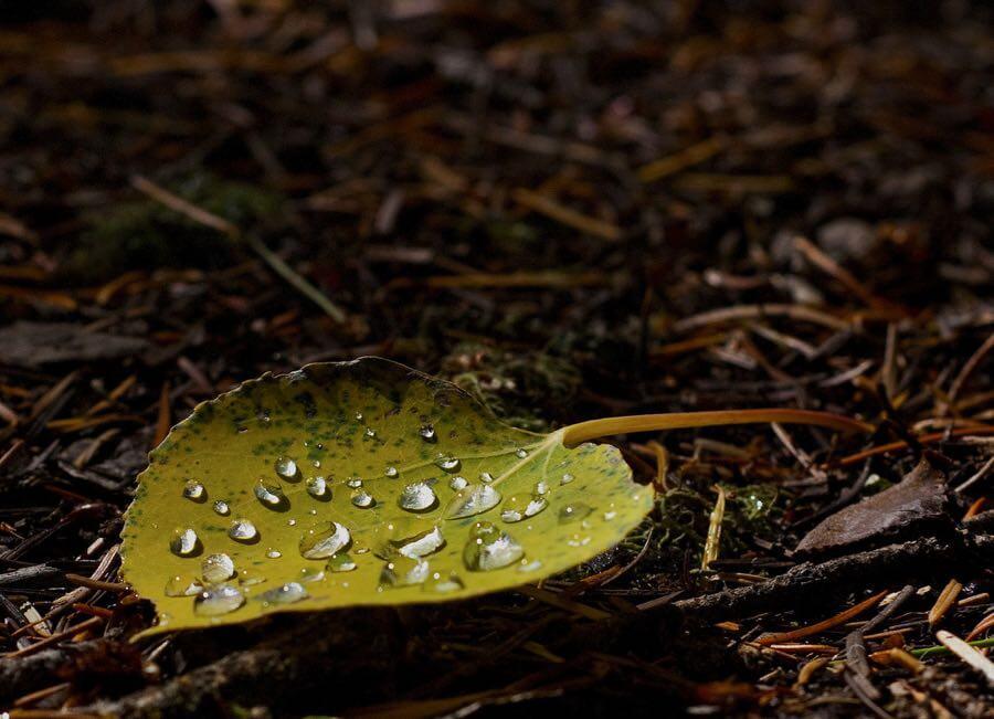 John Fowler - Dew on Aspen Leaf