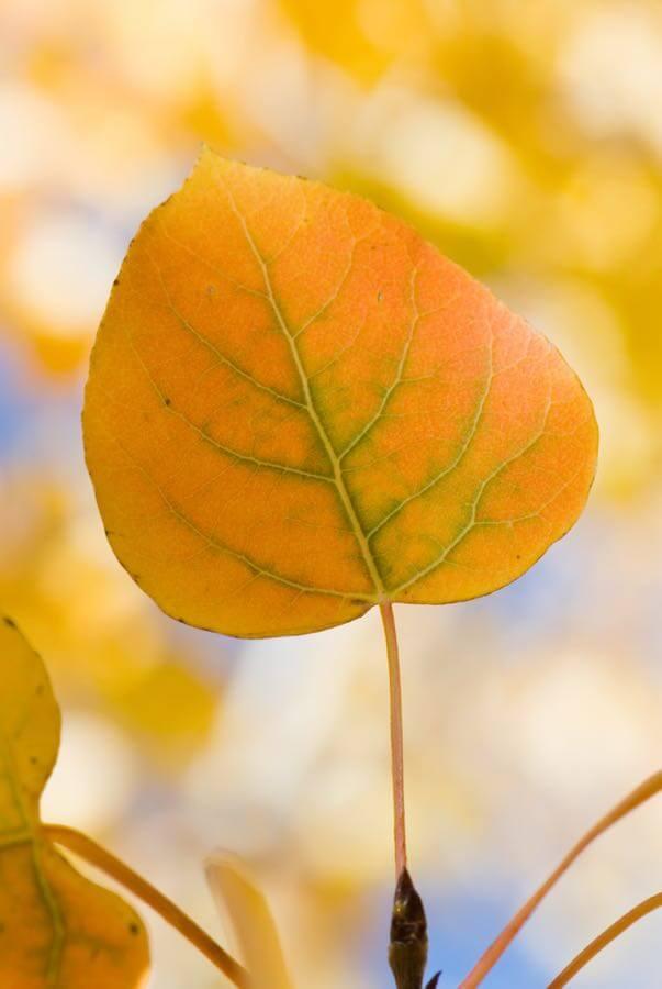 Kaibab National Forest - Aspen Leaf