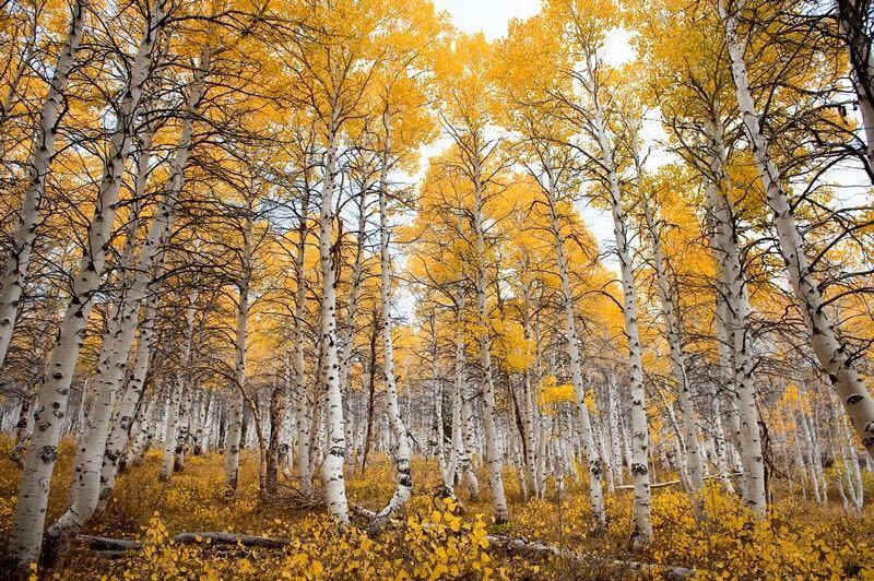 Tucker Hammerstrom - Aspen Forest