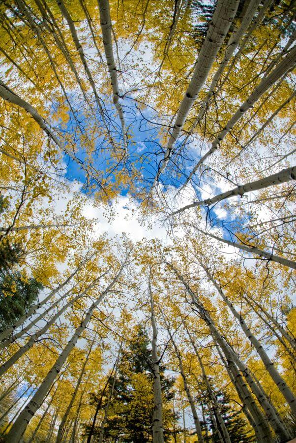 Kaibab National Forest - Aspen Sky