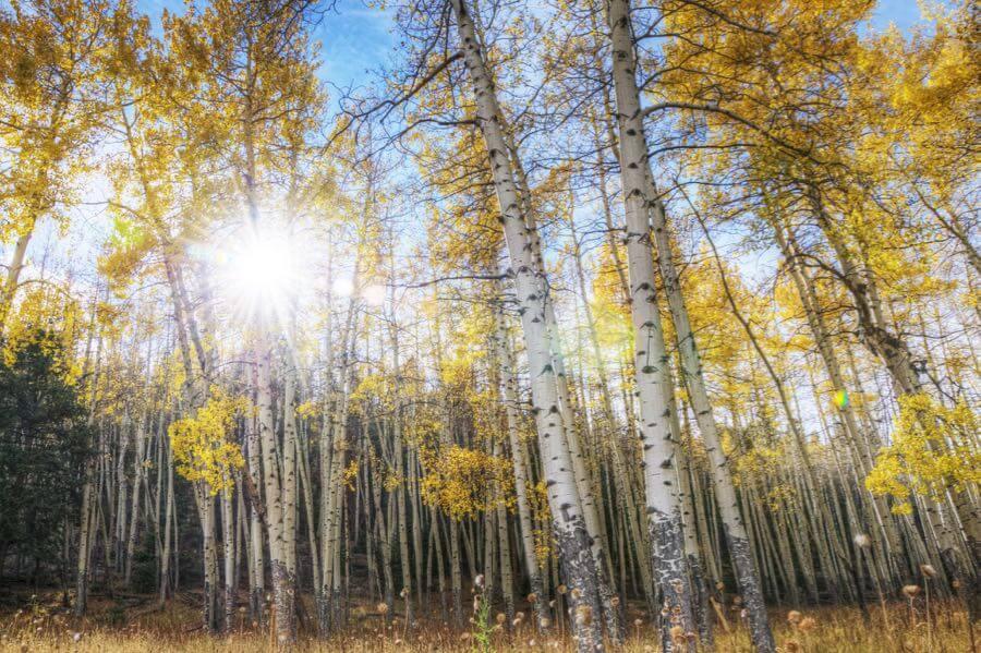 Yuya Sekiguchi - アスペンの木 Aspen Trees