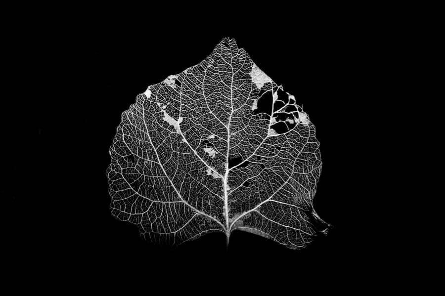 Shaun Fisher - Decayed Aspen Leaf in B&W