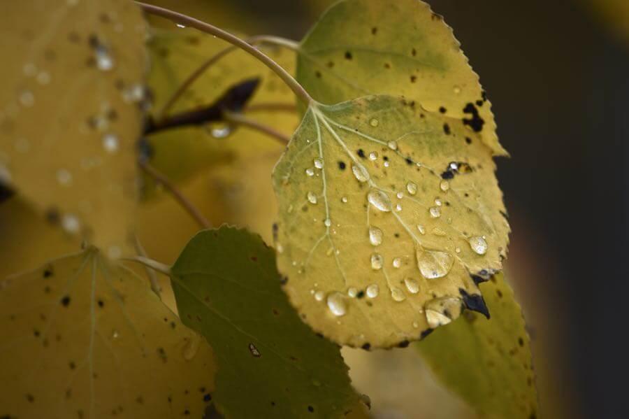 Diana Robinson - Raindrops on aspen leaves in the Tetons