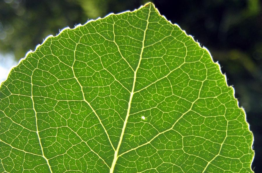 Wayne Noffsinger - Aspen leaf