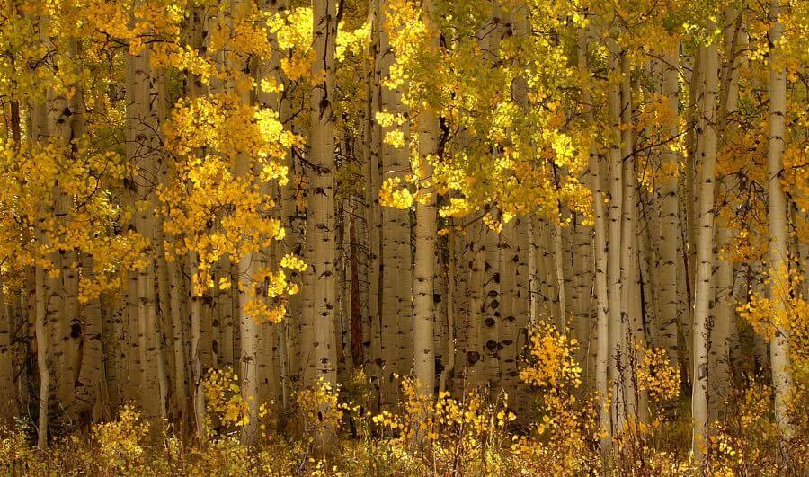 fry_dave - Aspens in Autumn