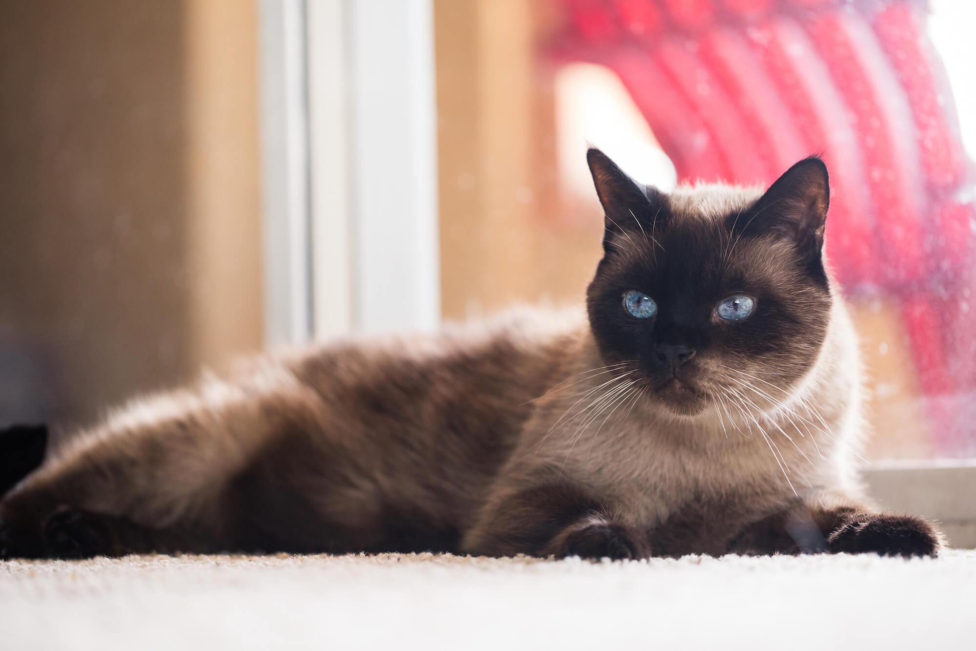 cat lays in front of window