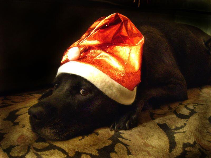 dog with a santa hat