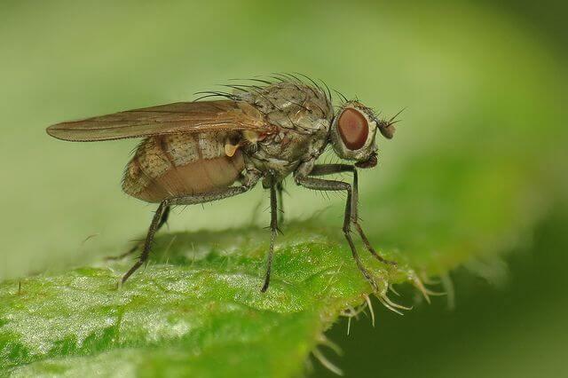 Female Anthomyiidae