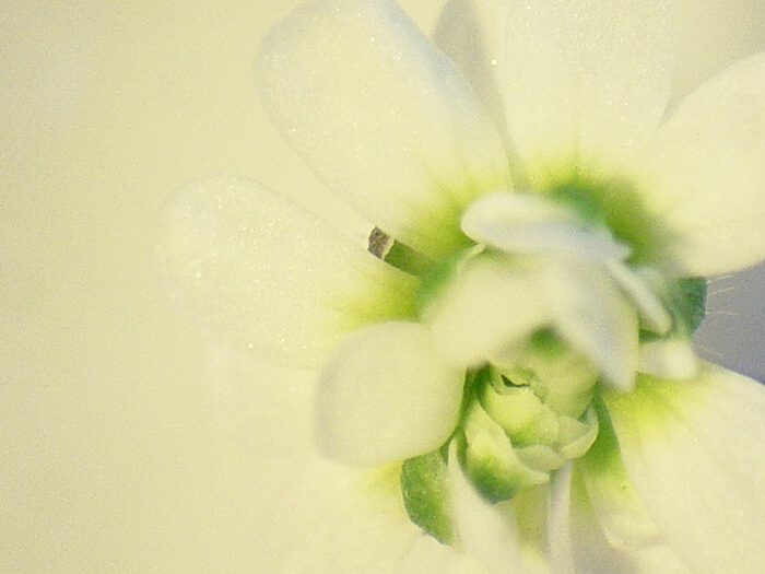 Arabidopsis Mutants