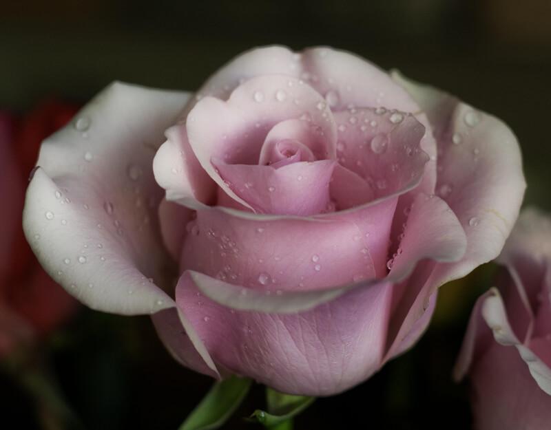 norenkay — pink rose