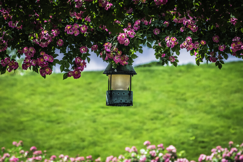 pink roses and a lantern