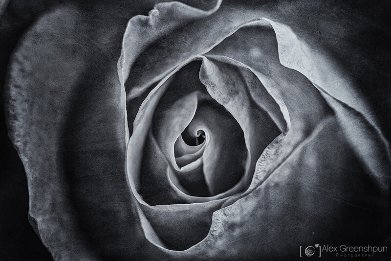 Alex Greenshpun — rose in black and white