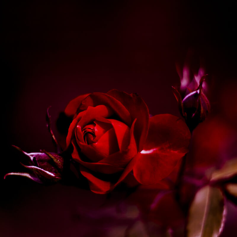 35 Beautiful Rose Pictures