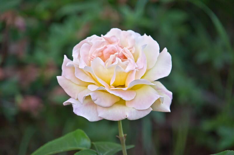 white-pink rose