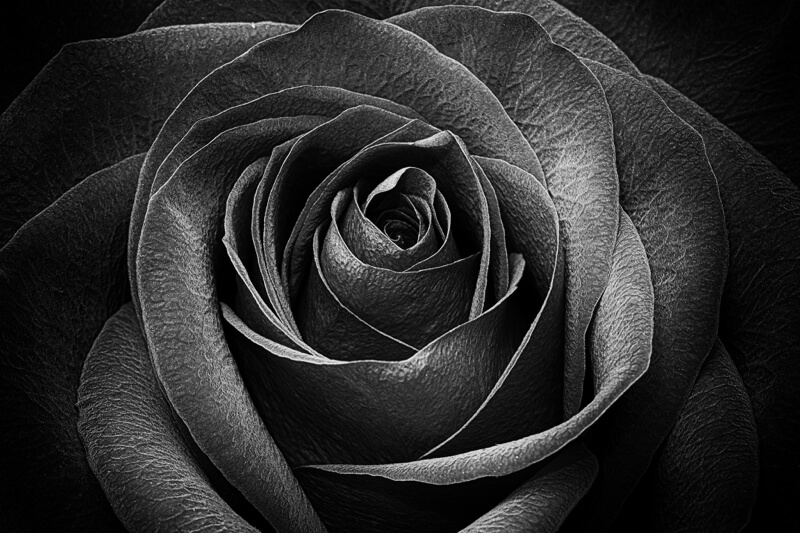 macro of a rose in black and white