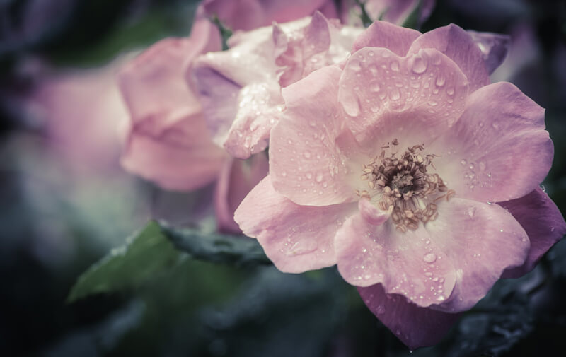 Carina — pink rose