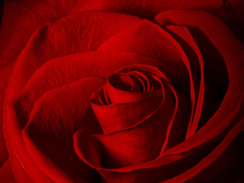 Barb — close-up of red rose