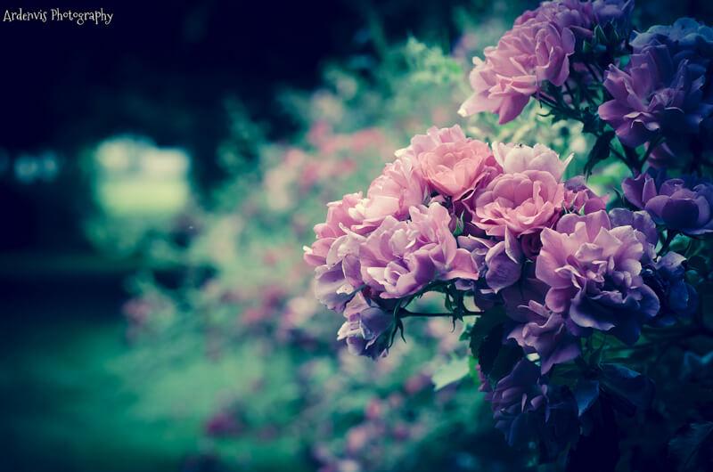 Denis Bondioli — pink roses