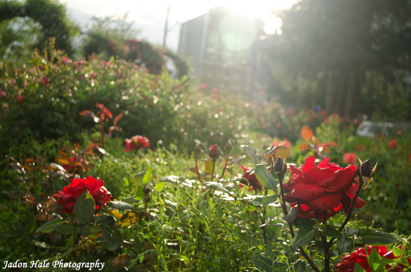 red roses in rose garden
