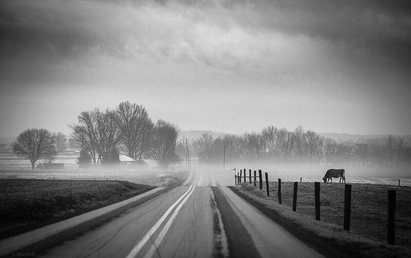 Road cow and fog