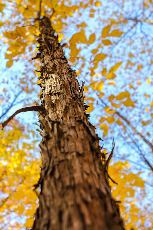 rough bark tall tree yellow leaves