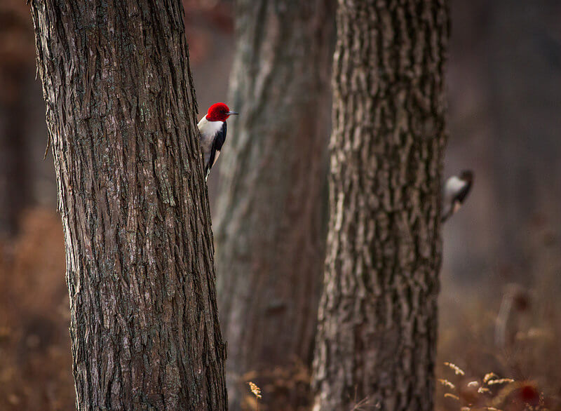 Pair of Red-headed Woodpeckers