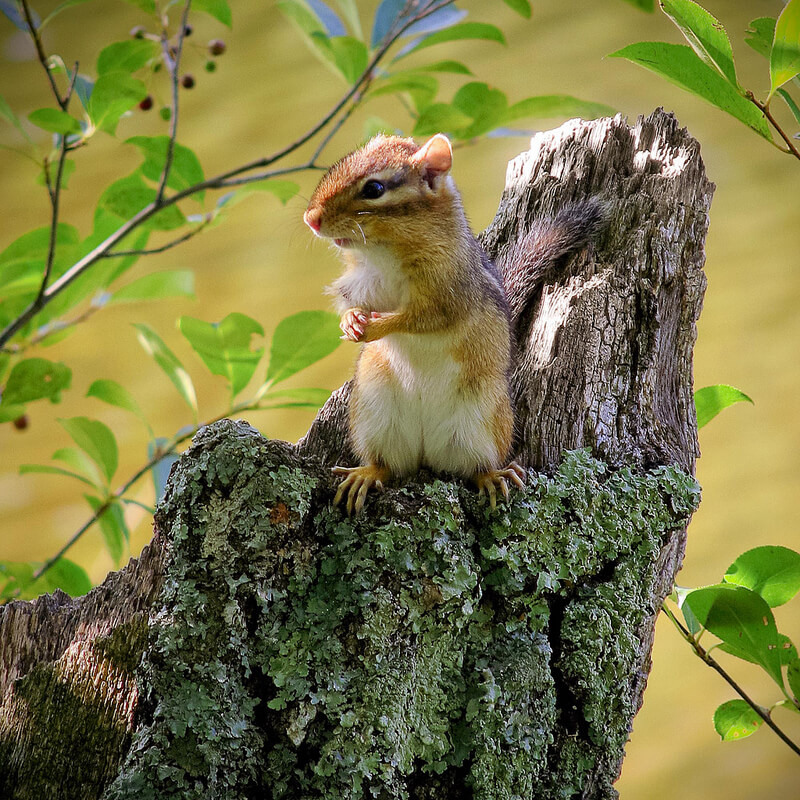 chipmunk on tree stump