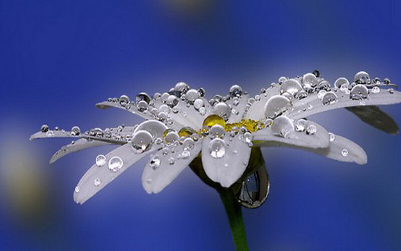 dew on white flower