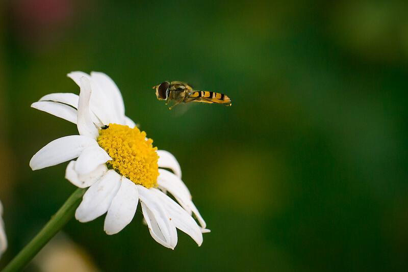 bee over flower
