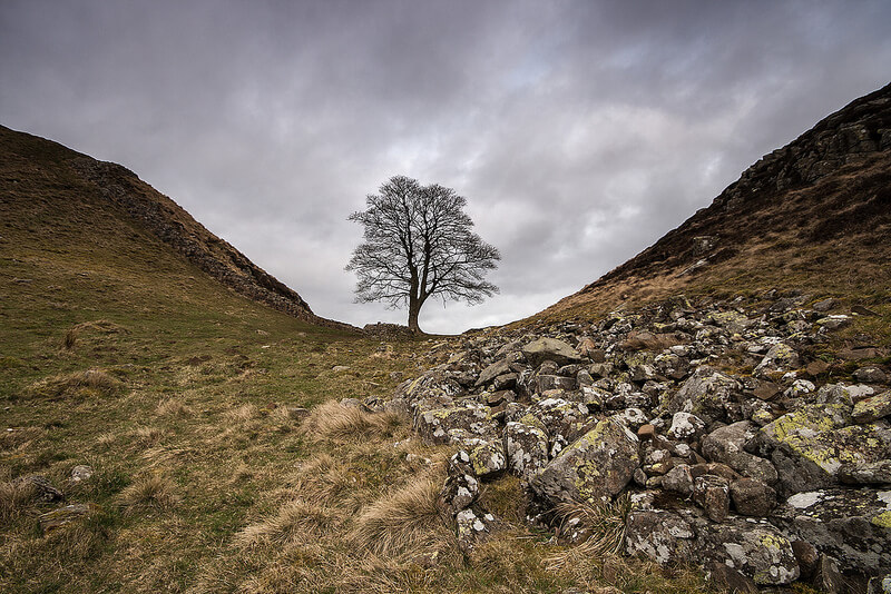 tree by Hadrians wall