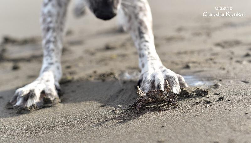 crab dog paw