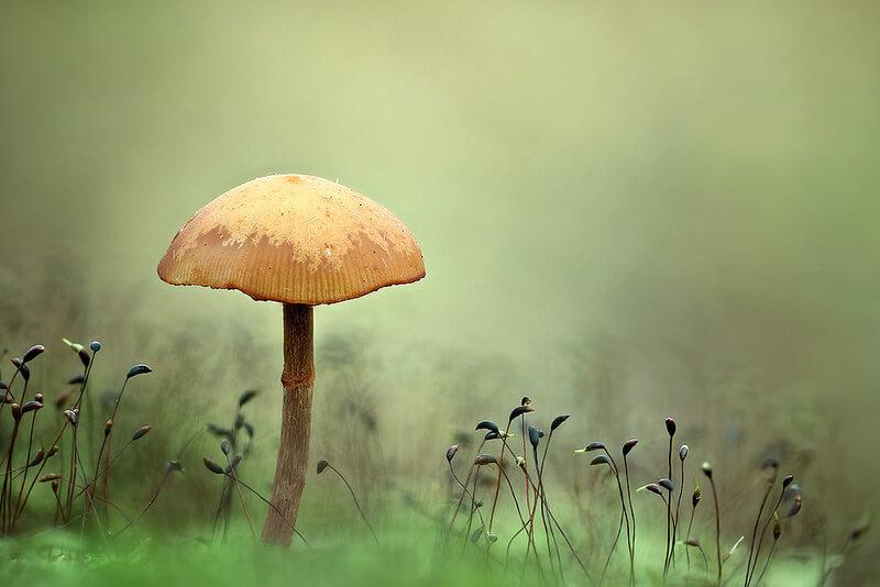 mushroom Galerina marginata