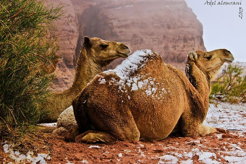 camels with snow