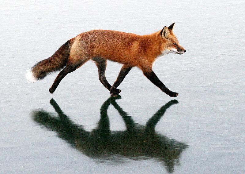 fox Walking On Thin Ice