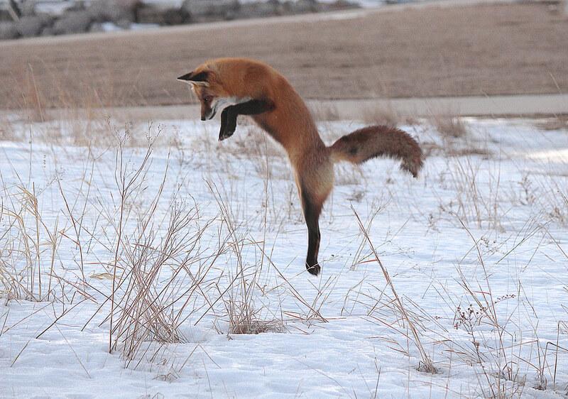 fox hunting in snow