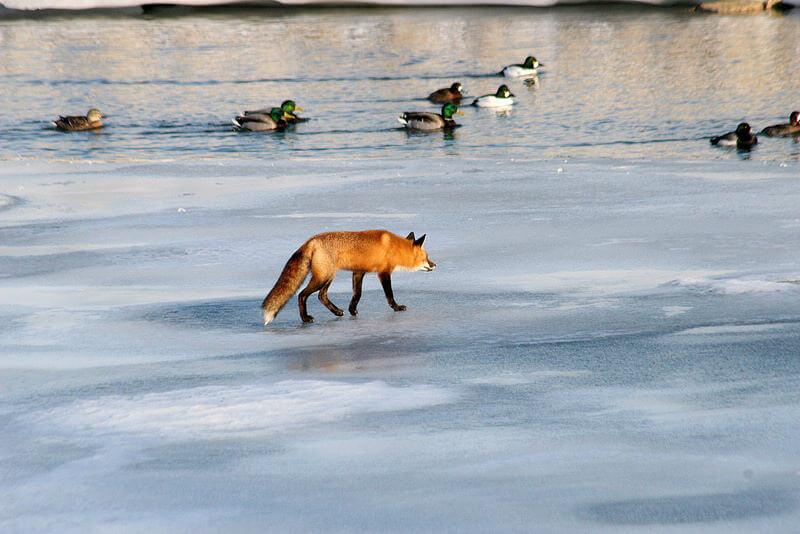 fox hunting ducks