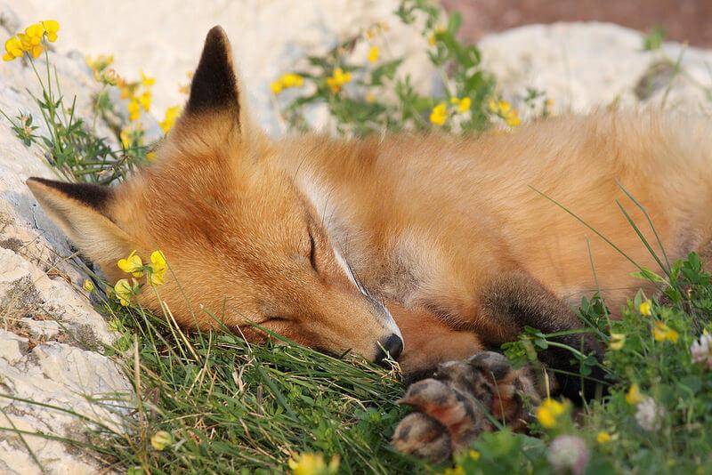 sleeping red fox kit