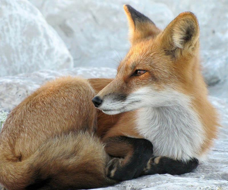fox laying down