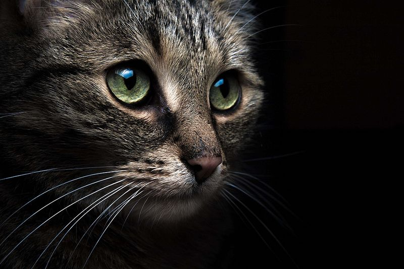 Silvio Prahl - cat closeup