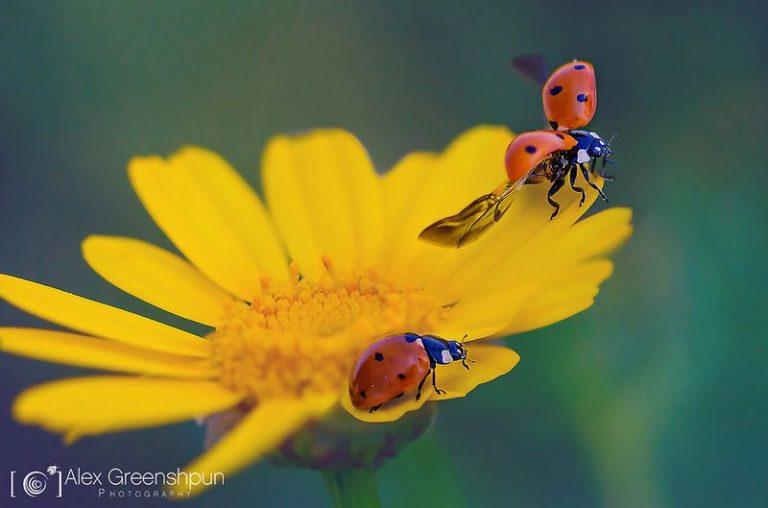 Alex Greenshpun ladybug flying