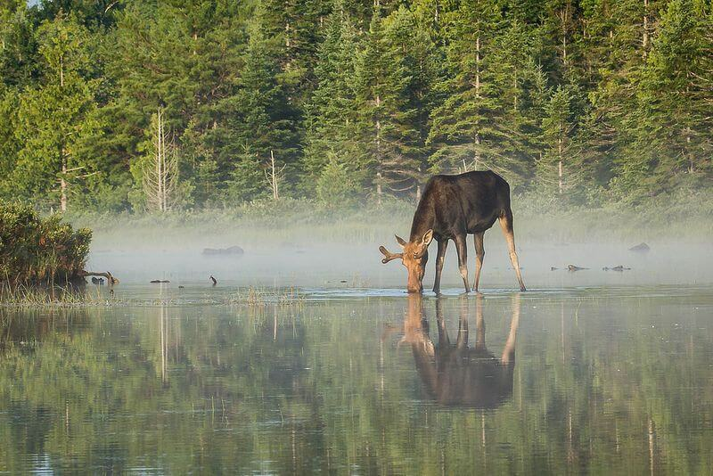 Nate Hughes - Bull moose in the mist
