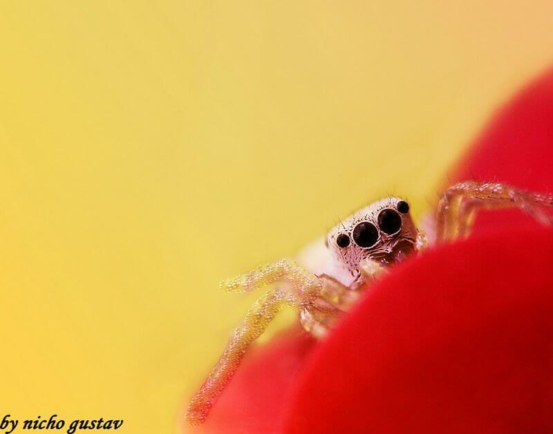 Nicho Gustav - Spider