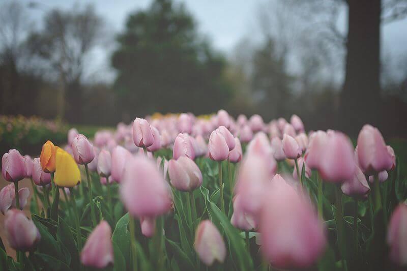 jordan parks - tulips
