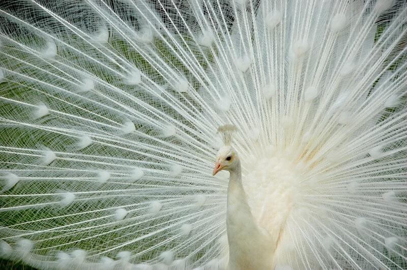John Mason - Albino Peacock