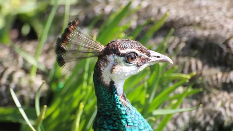 Susanne Nilsson - Peacock