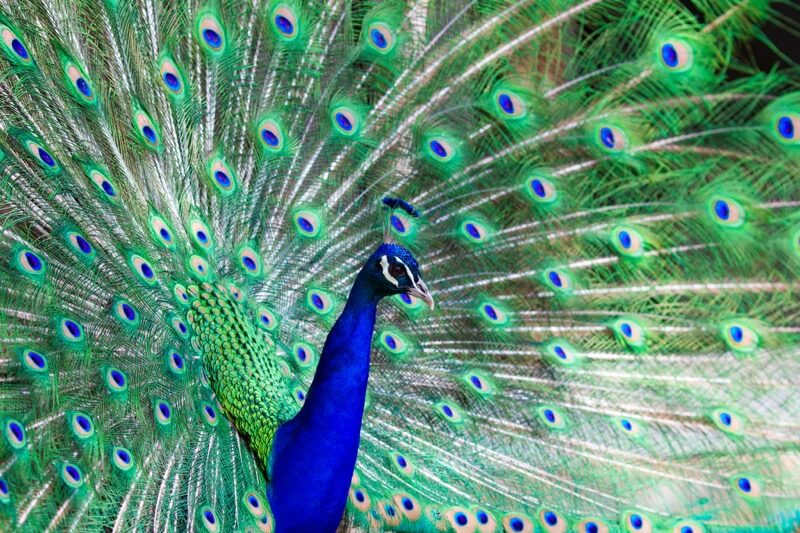 Michael Bentley - Preening Peacock