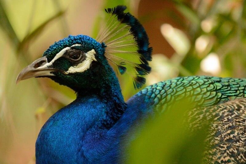 Daniel Ramirez - Peacock closeup