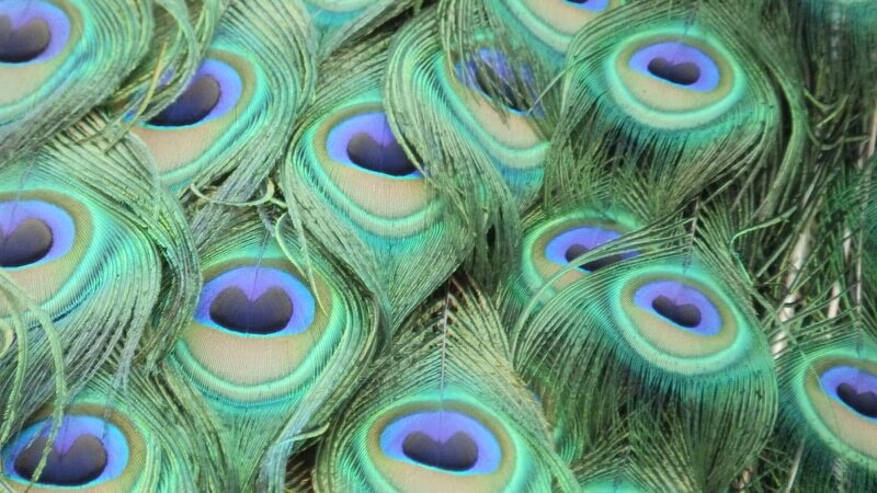 Rikki's Refuge - peacock feathers very close up best