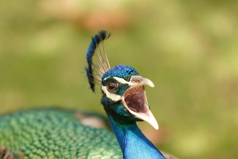 ph_micchei - l'urlo del pavone